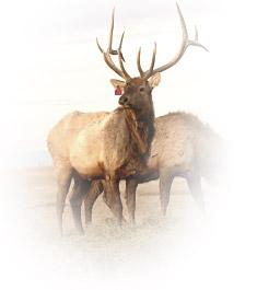 elk-on-farm